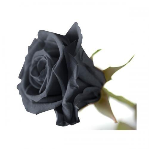 Grande Rose Noire A Offrir Fleur Naturelle Stabilisee Preservee Luxe