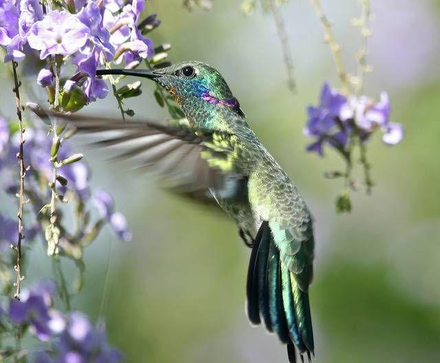Iridescent! Beija-flor-de-Orelha-Violeta
