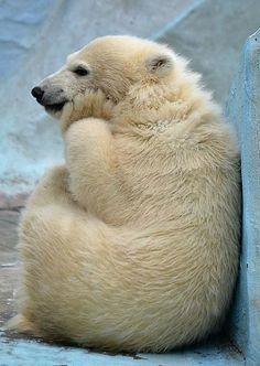 Funny Polar Bear Thinking Polar Bear Baby Polar Bears Animals
