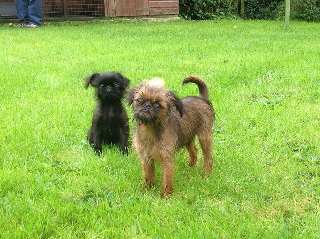 Griffon Bruxellois Puppies For Sale In Milford Haven Pembrokeshire Preloved Puppies Dogs Dogs And Puppies