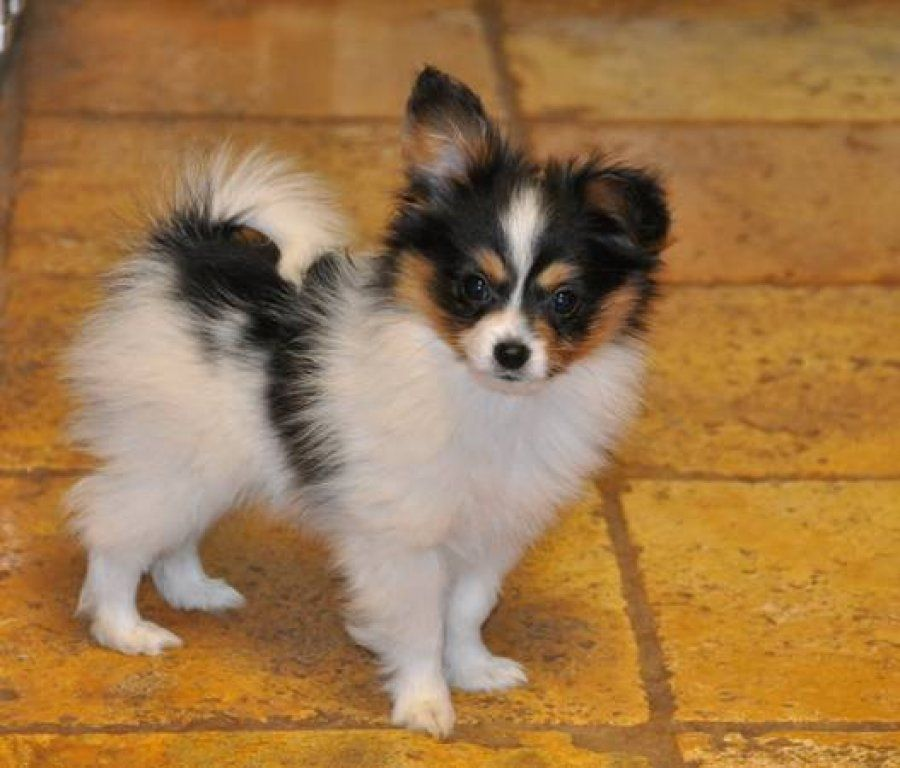 Toy Dog Breeds That Stay Small : Miniature dogs that stay small dog sitting