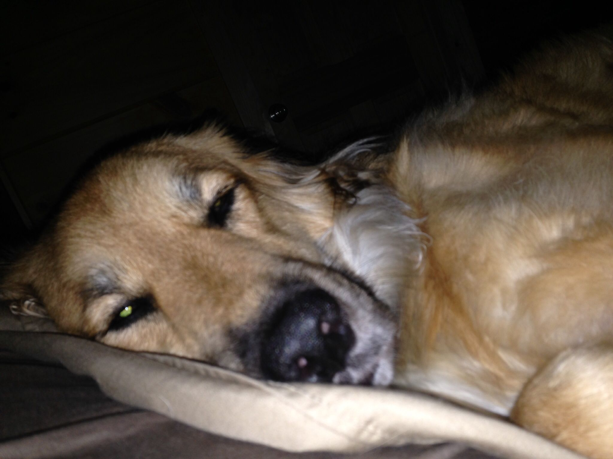 Maggie on daddy's pillow