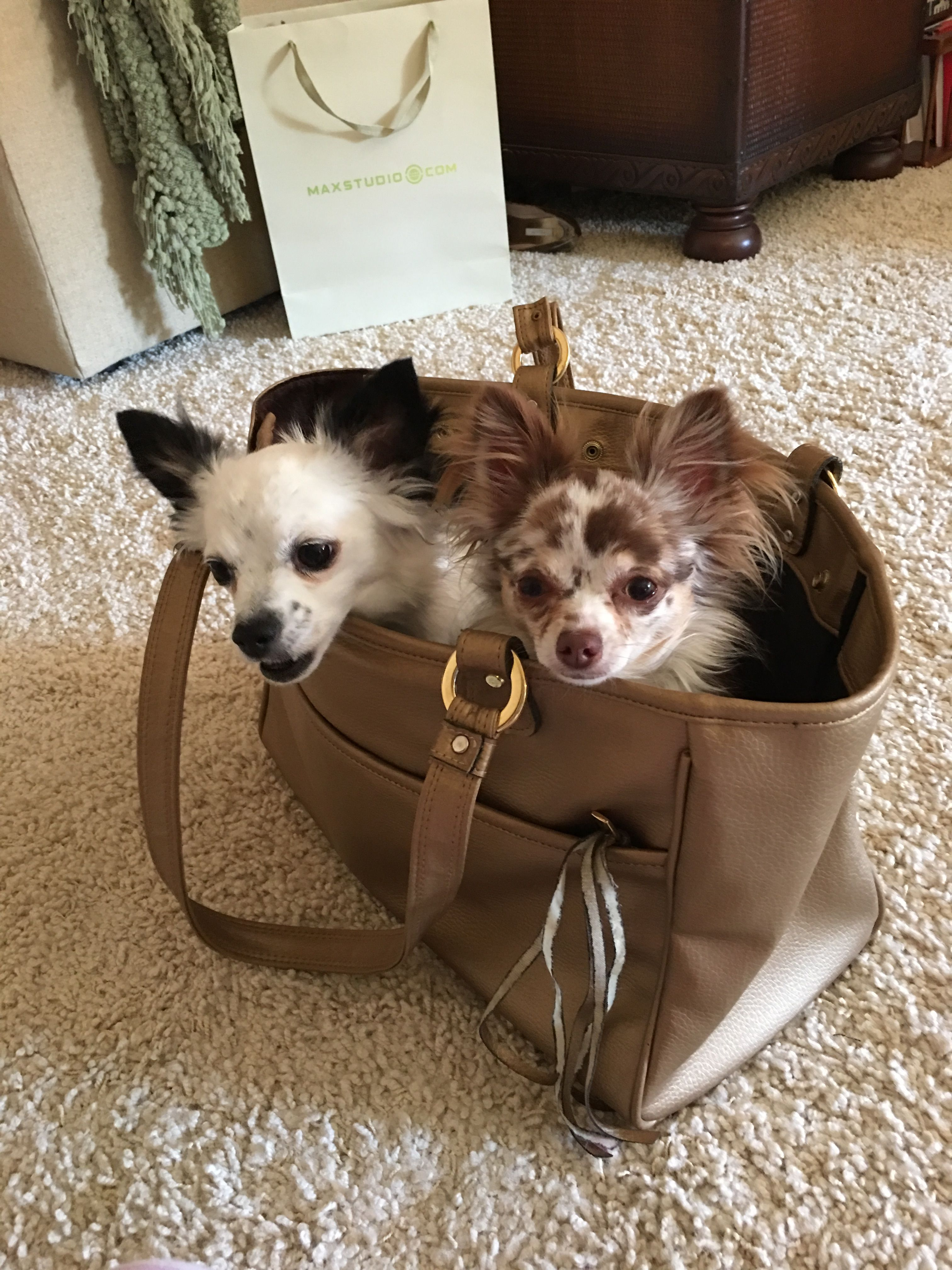 Pin by camilla vitale on my chihuahuaus pinterest