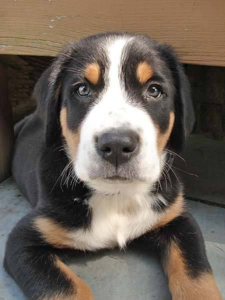 Greater Swiss Mountain Dog Grosser Schweizer Sennenhund Grand