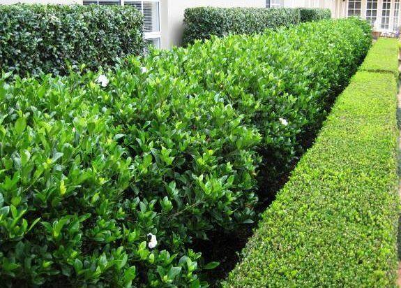 Gardenia Florida Garden Hedges Backyard Landscaping Garden Design