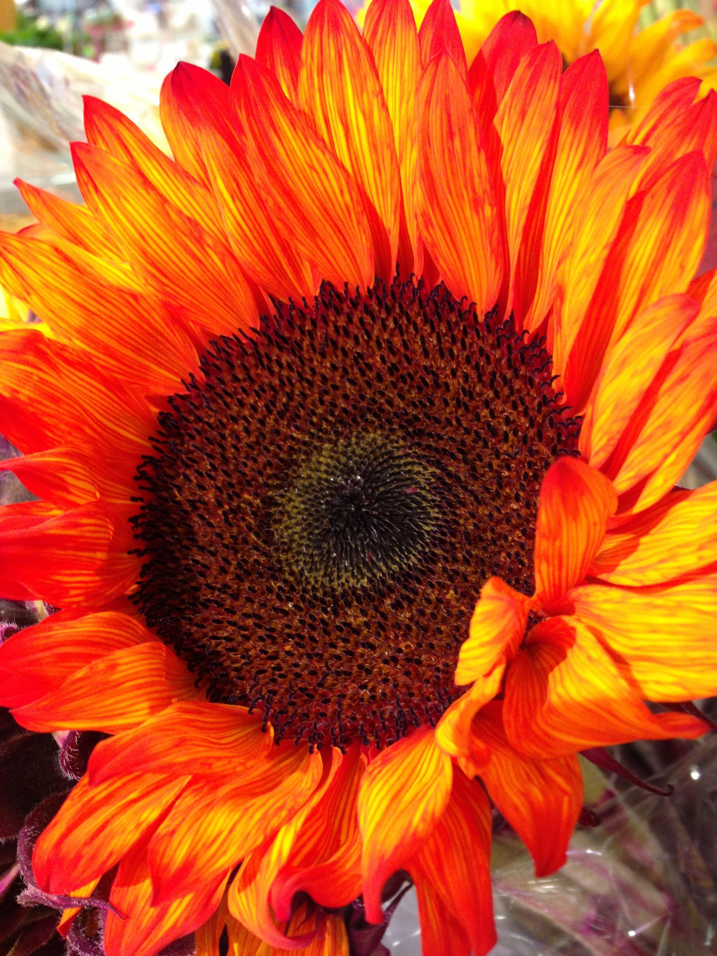 Big Orange Sunflower Types Of Sunflowers Orange Flowers Flower Painting