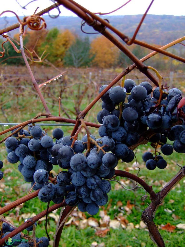 How to Grow Grapes - Backyard Grape Growing Secrets ...