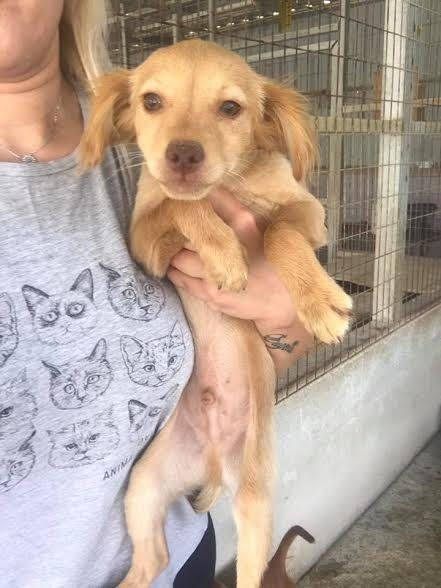 Joey 3 Month Old Male Kokoni Cross Available For Adoption Dog