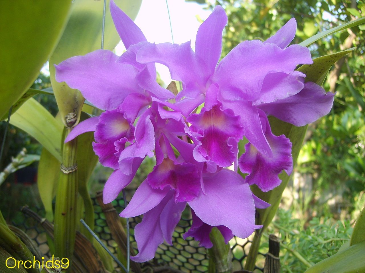 Cattleya Portia Blue Orchid Flowers Pictures Orchid Flower Blue Orchid Flower Cattleya Orchid