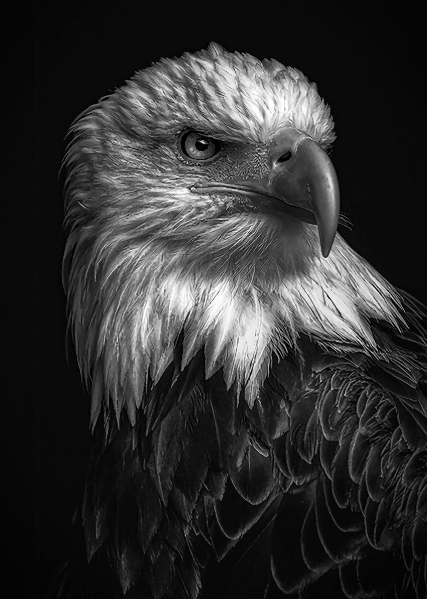 Wild Eagle Head Poster By Mk Studio Displate Eagle Pictures Animals Black And White Wild Eagle Eagle black and white hd wallpaper
