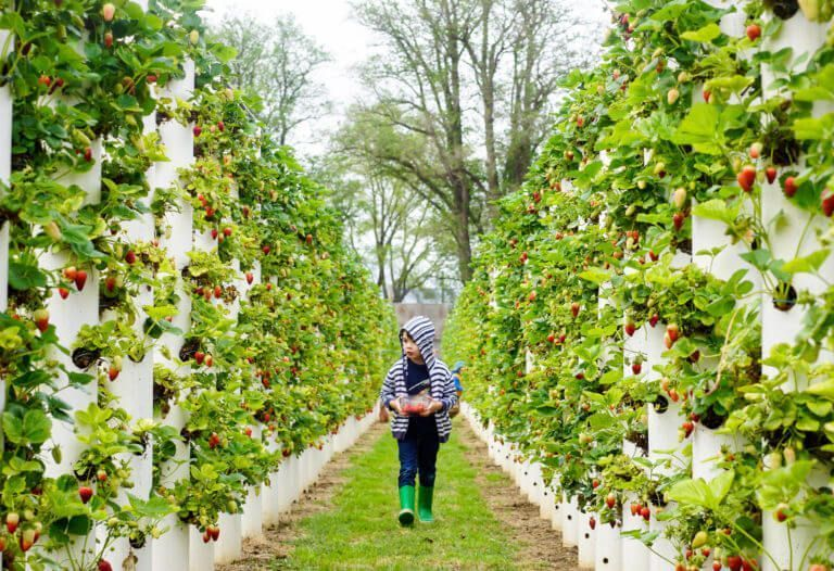 The Strawberry Forest Bacchus Marsh Vertical Strawberry Fruit Picking Bacchu Bacchus Forest Fruit Marsh In 2020 Fruit Picking Strawberry Fruit Bacchus Marsh