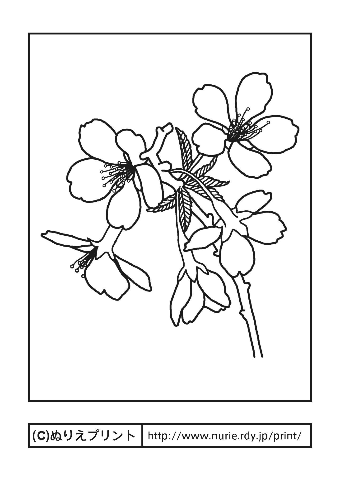 フジザクラ富士桜主線黒山梨県の花無料塗り絵都道府県ぬりえ