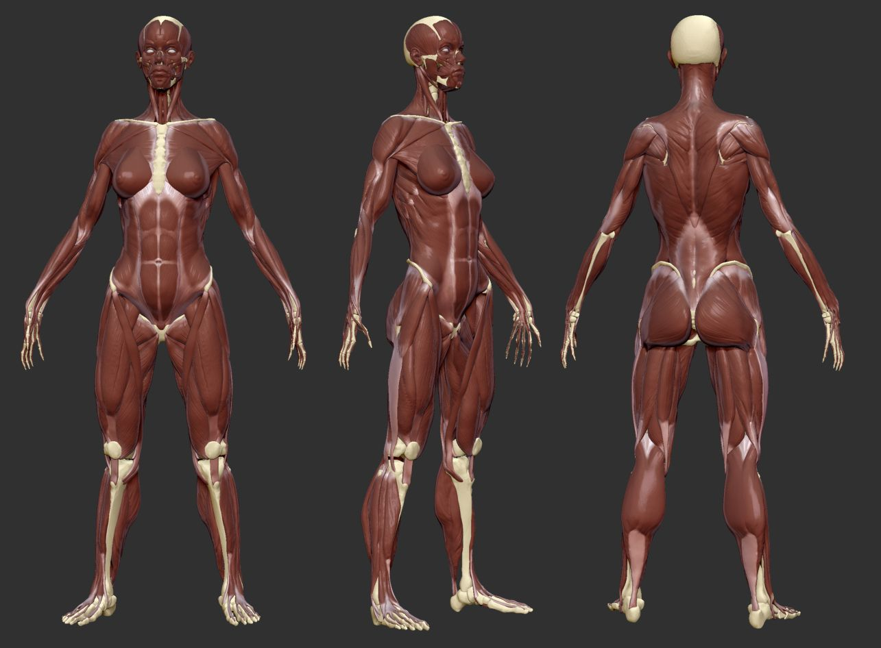 Female Body Muscles Anatomy References For Artists Anatomy