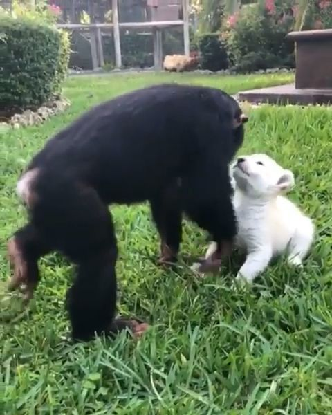 Monkey With His Cute White Lions Baby