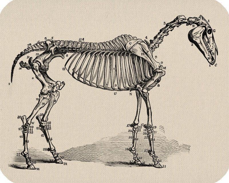 Horse skeleton | Anatomy | Pinterest | Skeletons and Anatomy