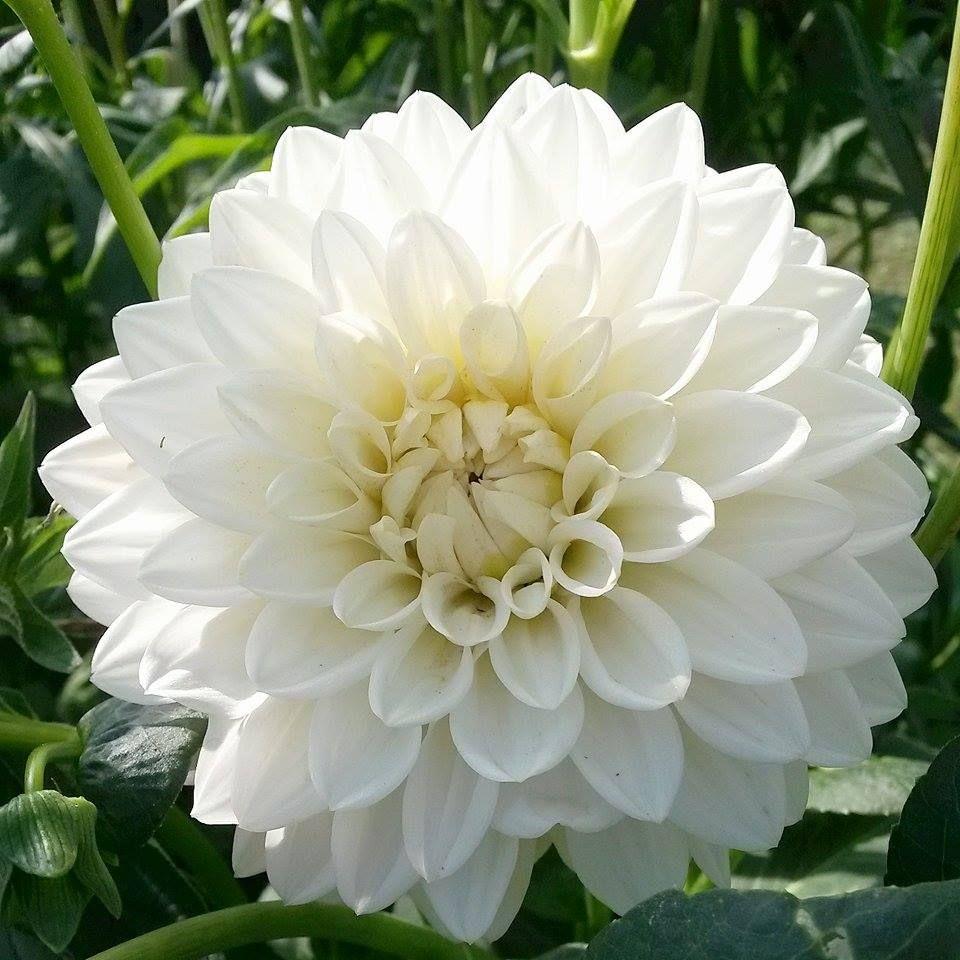 """White Dahlia""""White pearl"""""""