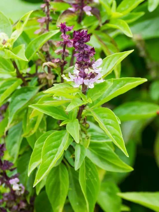 18 Best Basil Varieties To Grow For Cooking Medicinal Uses Cinnamon Basil Types Of Basil Dried Flower Arrangements