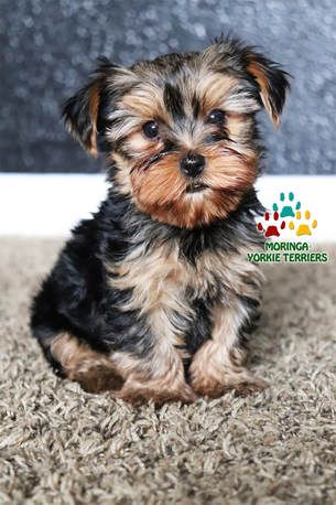 (Teddy Bear Doll Face Yorkies) Quality Yorkie Puppies for