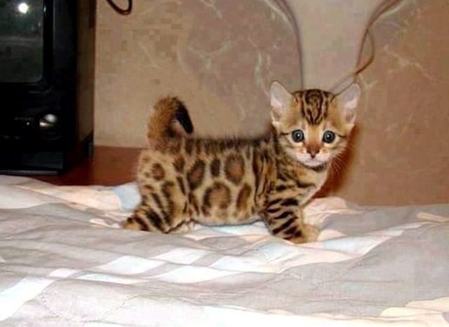 Asian Leopard Kitten ~ adorable