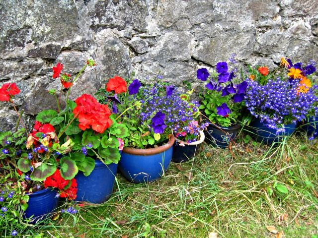 geraniums in blue pots
