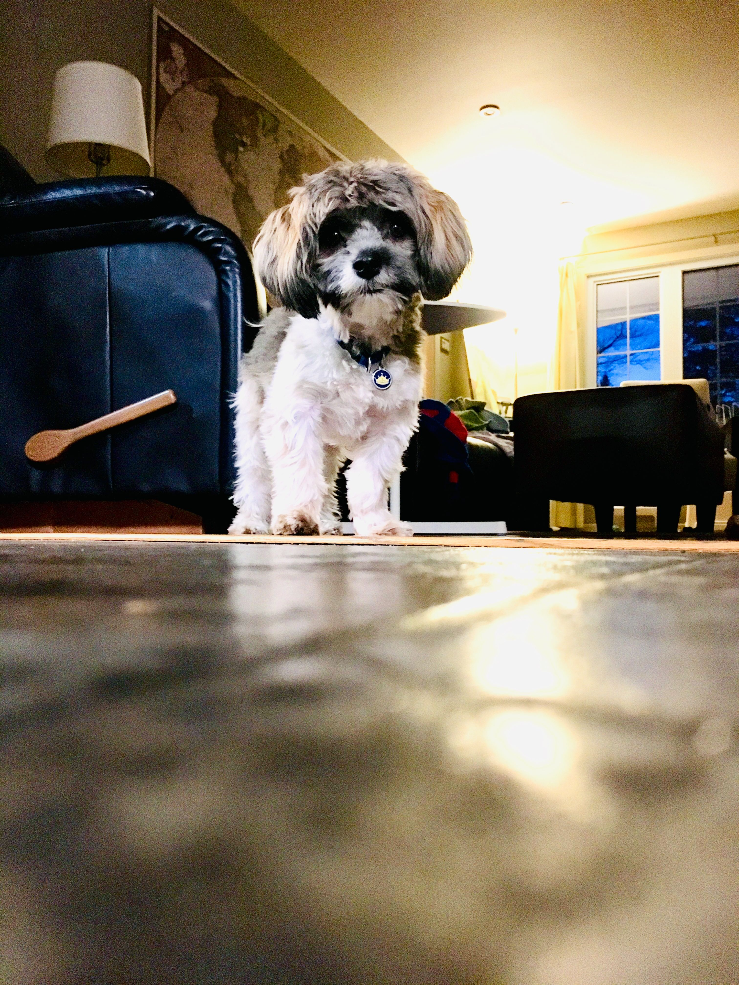 Duke The Havanese Dog With His New Haircut Dogs