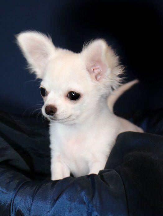 Wunderschoner Langhaar Chihuahua Welpe I Puppy White