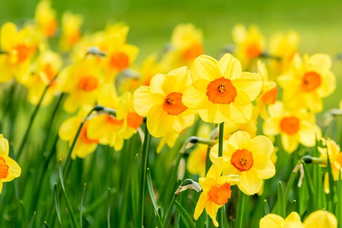 Daffodil Flower Meaning Daffodil Flower Narcissus Flower Daffodil Bulbs