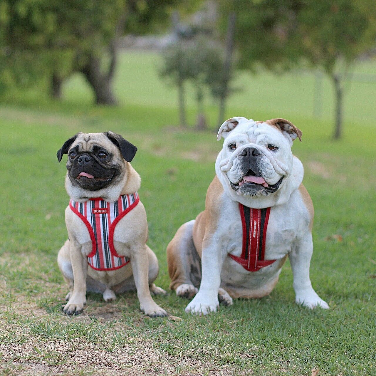 Bulldog Betty And Pug George Models For Www Pawgie Com Au And