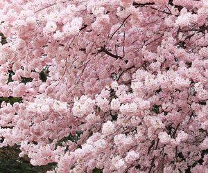 Blossoms Blossom Trees Sakura Cherry Blossom Flowering Trees