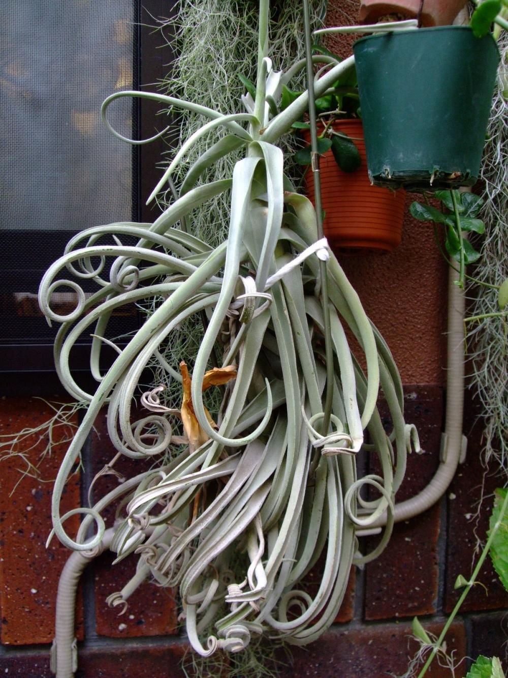 Tillandsia duratii Air plants, Tillandsia air plant