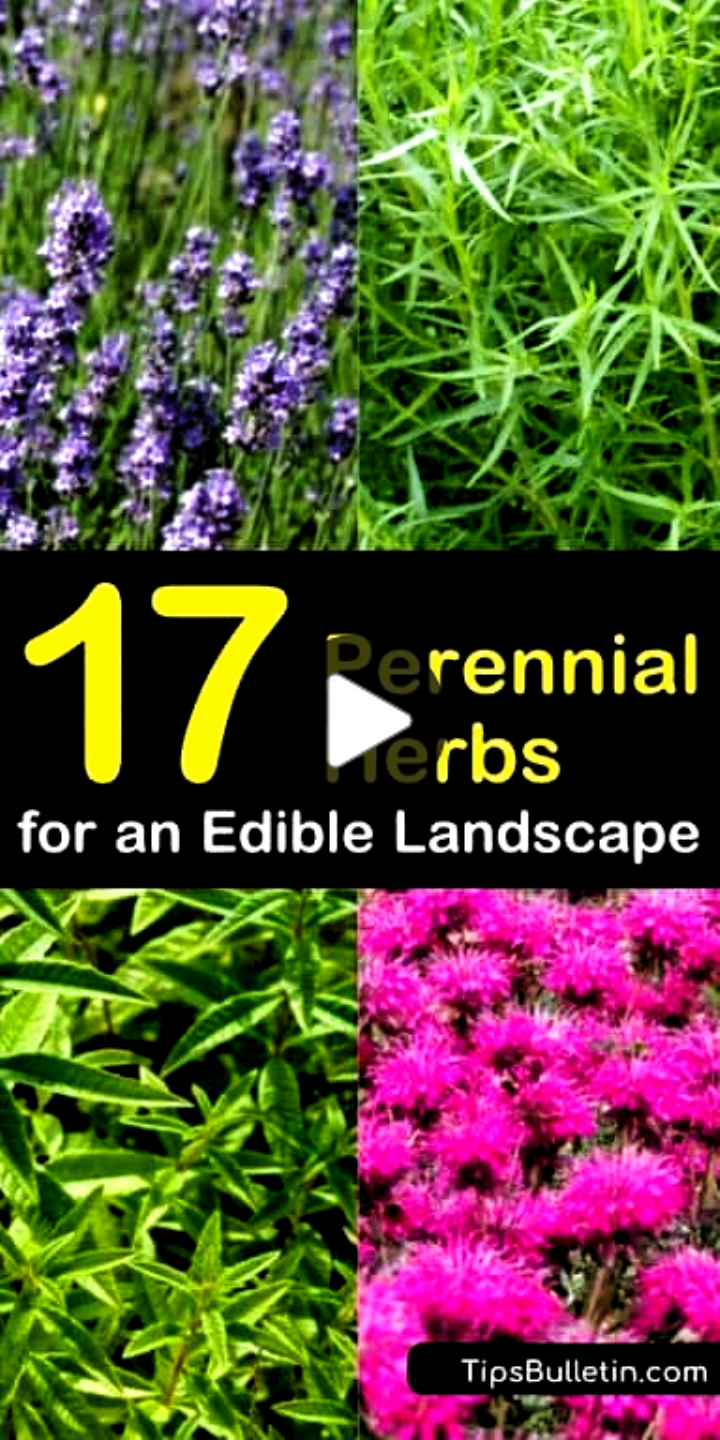17 Perennial Herbs For An Edible Landscape Add Create Edible Garden Herbs Landscape Long In 2020 Perennial Herbs Edible Landscaping Perennial Plants