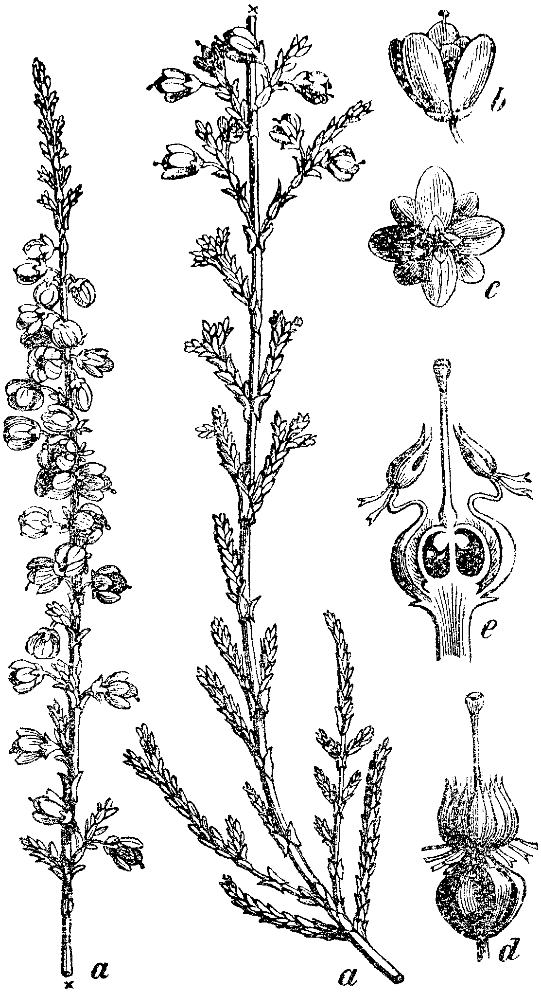 Botanical Illustration Heather Calluna Vulgaris Left One Is Scottish Blooming Heather For Crickett Tattoo Wildflower Tattoo Heather Flower Flower Tattoos