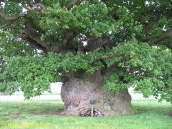 Pedunculate oak 'The Bowthorpe Oak' behind the farm in Manthorpe, Manthorpe, United Kingdom