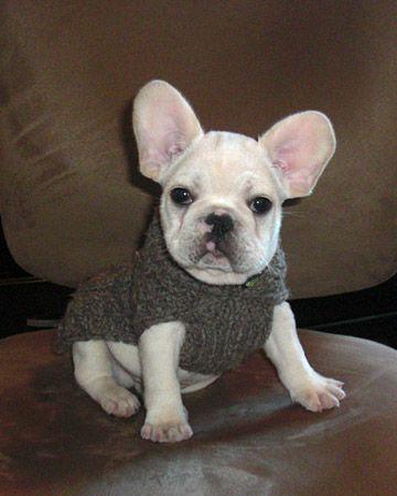 French Bulldog Puppy In A Gray Sweater Cute French Bulldog