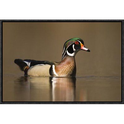"East Urban Home 'Wood Duck Male' Framed Photographic Print Size: 12"" H x 18"" W x 1.5"" D"