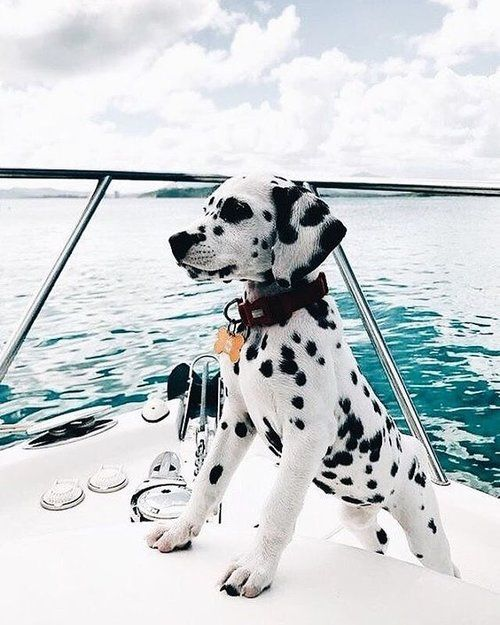 PUP | Currently feeling like we should all take a leaf out of this little Dalmatians book who is living his/ her best life. ✨ . . Inspiration of the day