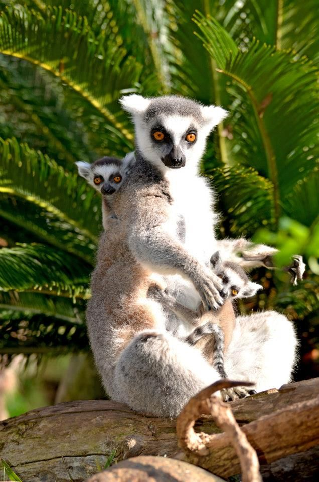 Ring-tailed Lemur mom and her baby-twins