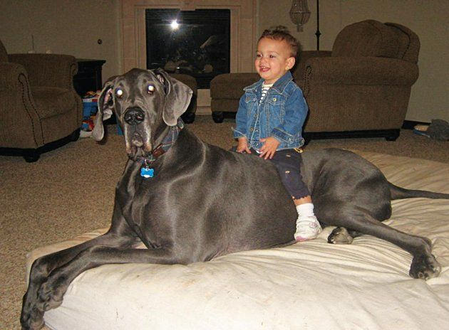 Giant George Great Dane Is Guinness World Record Holder For