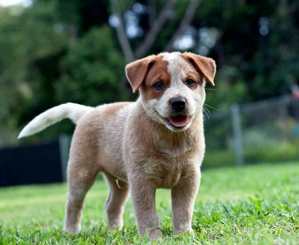From Australian Working Dog Rescue Cattle Dogs Rule Working Dogs Dogs