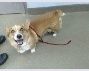 Short Stuff Is An Adoptable Corgi Searching For A Forever Family