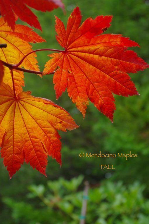 Japanese Maple Tree Varieties | Mendocino Maples Nursery #japanesemaple Japanese Maple Tree Varieties | Mendocino Maples Nursery