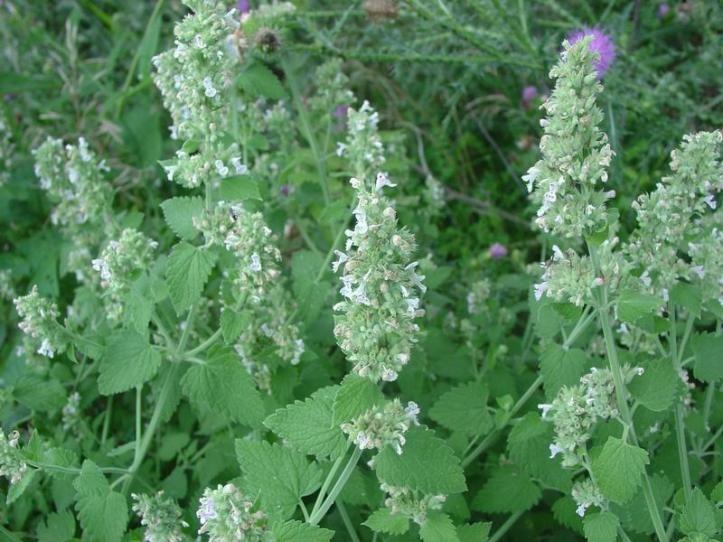 Plantas que sirven como repelentes naturales anti insectos - Plantas para ahuyentar insectos ...