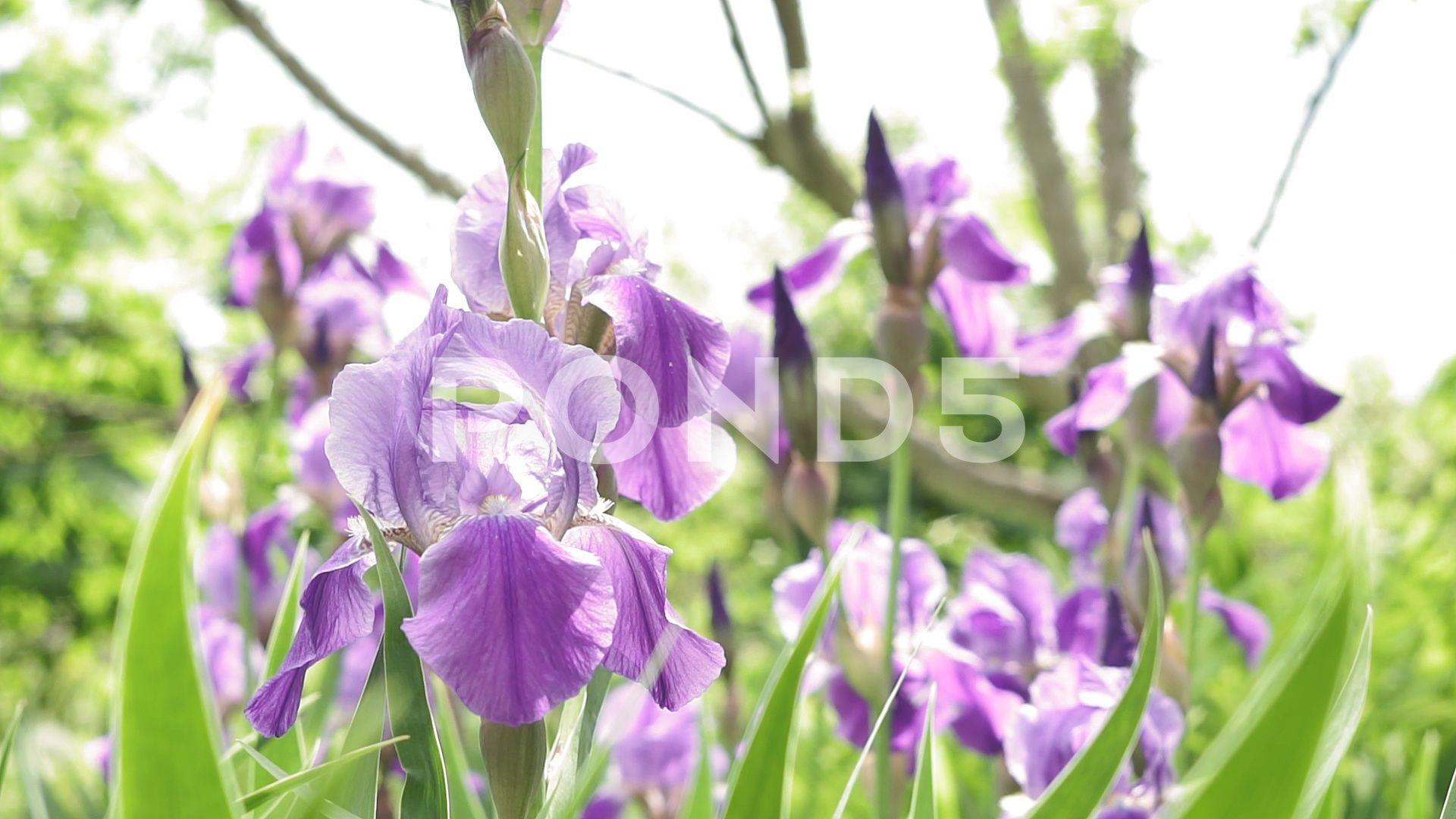 Purple Iris Flower In A Field Of Irises Nature Landscape Flora Beautiful Ad Field Irises Flower Purple In 2020 Iris Flowers Purple Iris Flower Field
