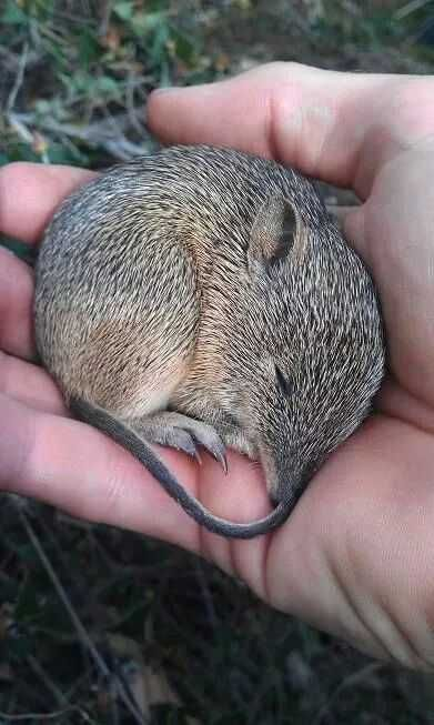 The Southern Brown Bandicoot In 2020 Australian Animals Australian Native Animals Australia Animals