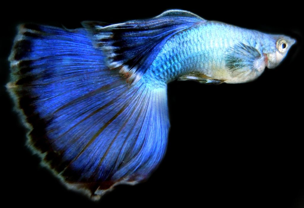 Livefins endless endlers round tail guppies scuds for Blue freshwater fish