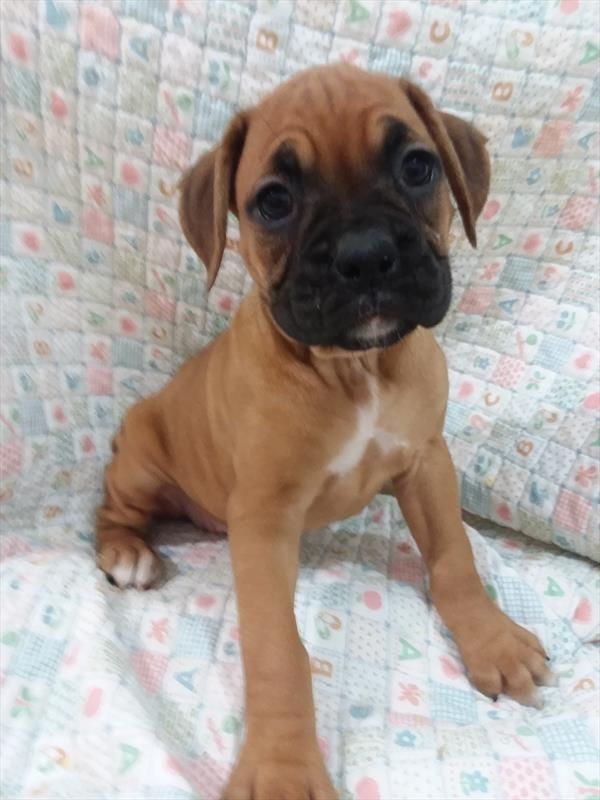 Boxer puppy for sale in TUCSON, AZ. ADN59252 on