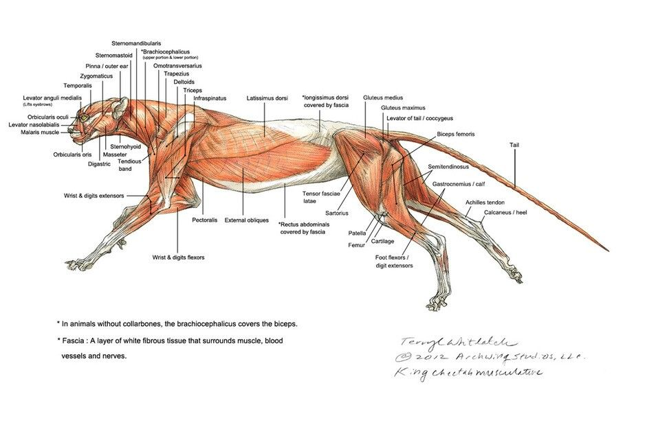 Found in Googls #cheetah #anatomy #muscles | Skull | Pinterest | Anatomy