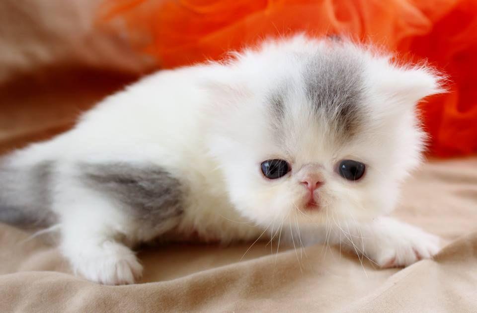 Opalreys Van Tastic Pure Persians Cfa Persian Kittens For Sale