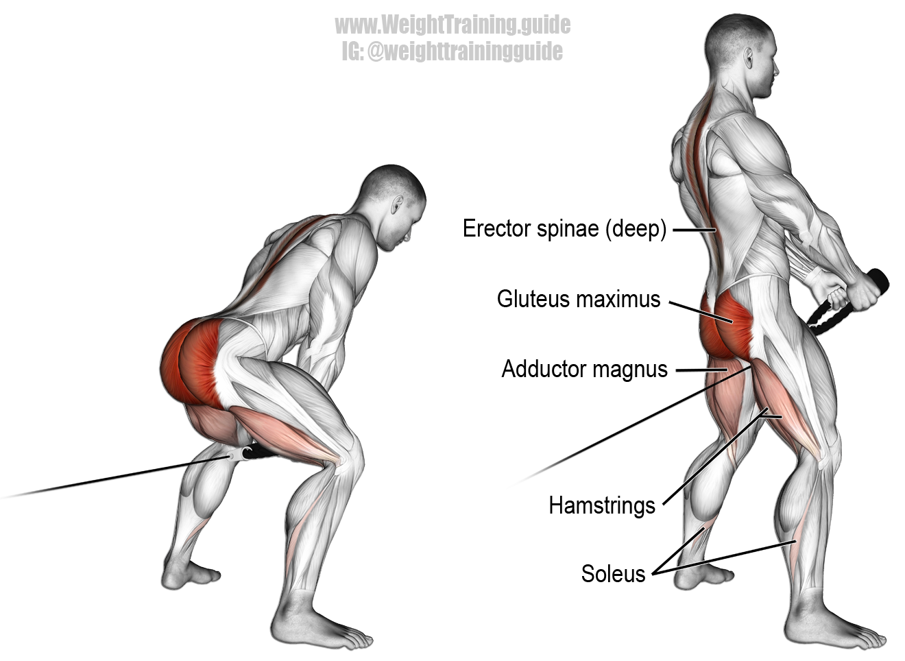 Cable pull through. A compound exercise. Target muscle: Gluteus ...