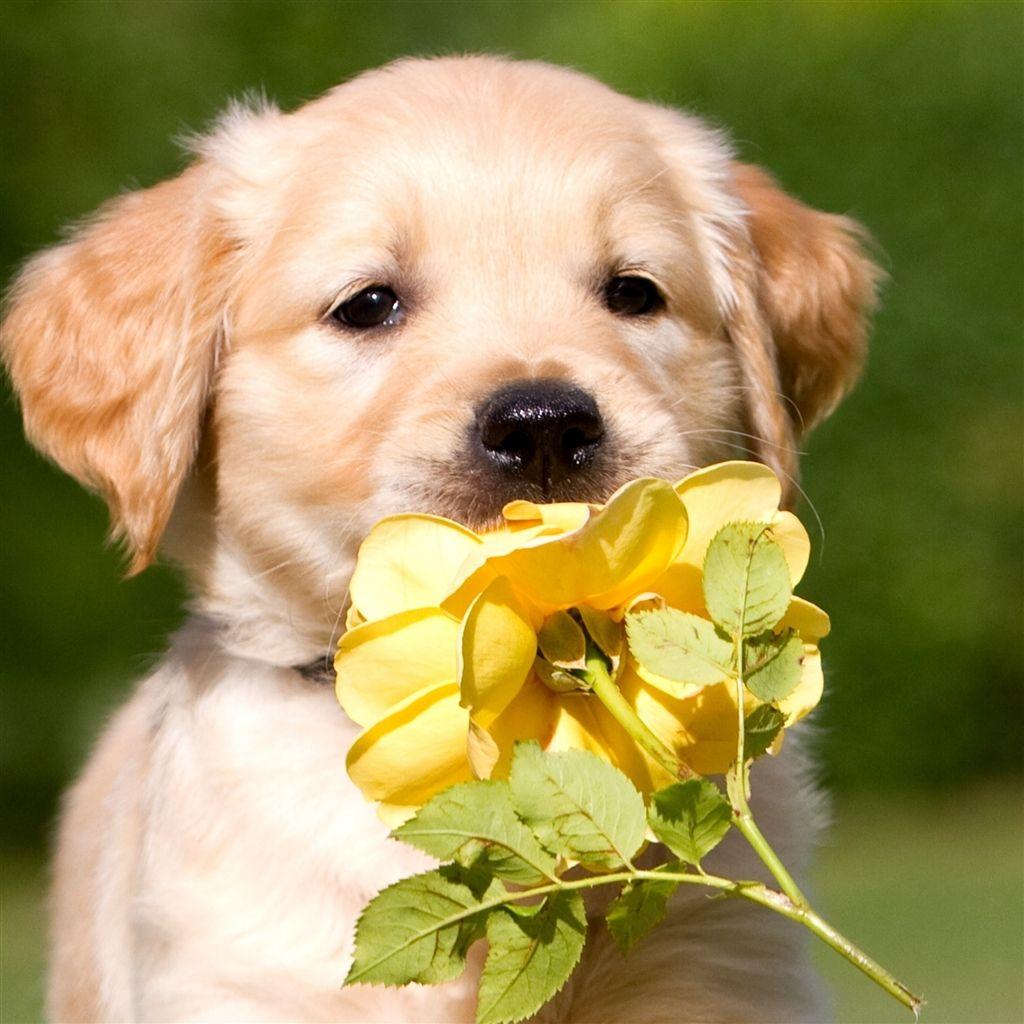 Retriever Puppy Petals Flower iPad Air Wallpapers Cute